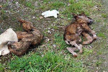 Hundewelpen verhungert und verdurstet.